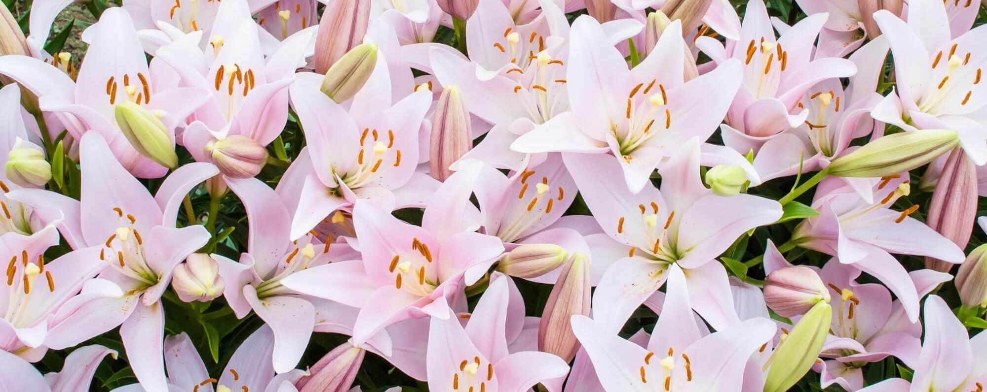 たくさんの百合の花